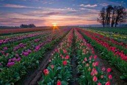 Голландское чудо: Его Величество Тюльпан