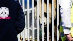 Китайские панды в Нидерландах