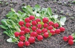 От чего зависит цена за смартфон и где с помощью него купить семена голландского редиса?